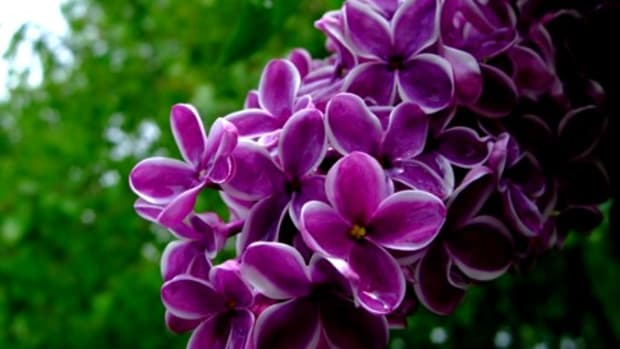 "Glistening lilacs. Notice I did not say ""water logged lilacs""...silver lining, people."