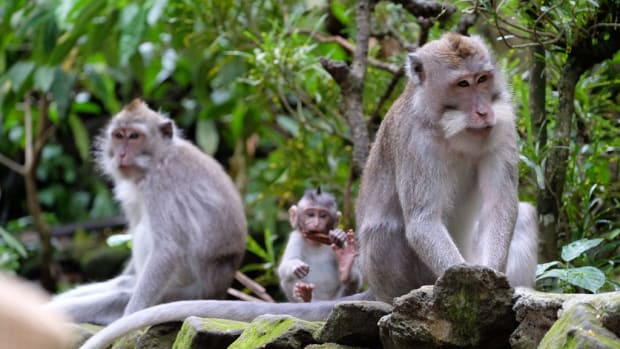 For wildlife attractions for families in Bali, cruelty-free is definitely the way to go. (Courtesy Ubud Monkey Forest)