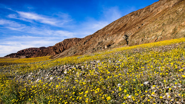 Death Valley is one of the best places to see wildflowers in California with kids. (Flickr: Marc Cooper)