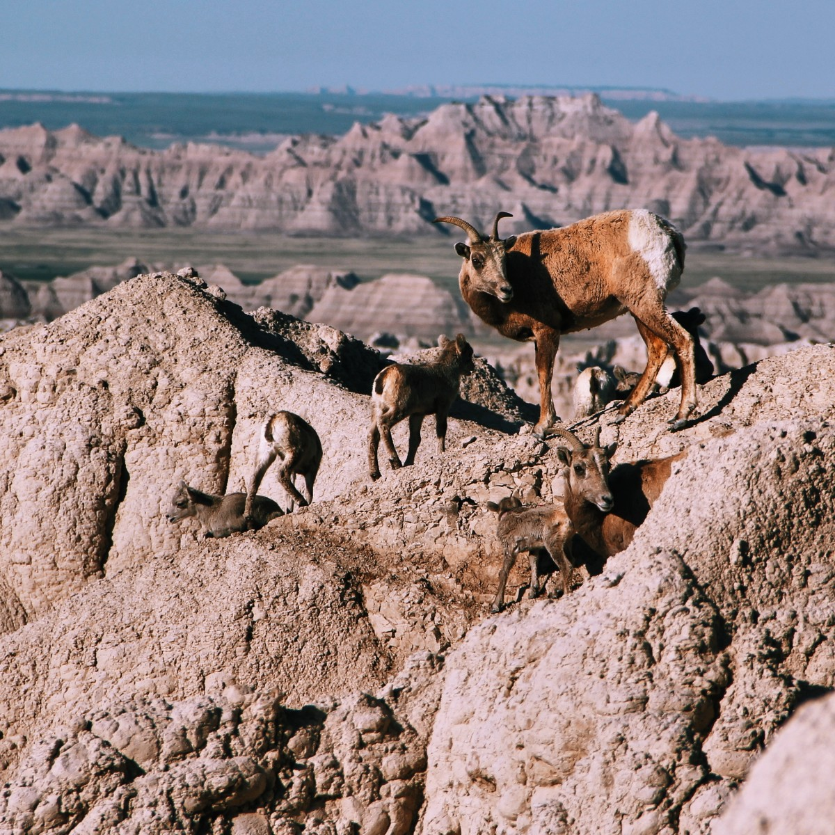 Badlands Mountain Goats on South Dakota Road Trip