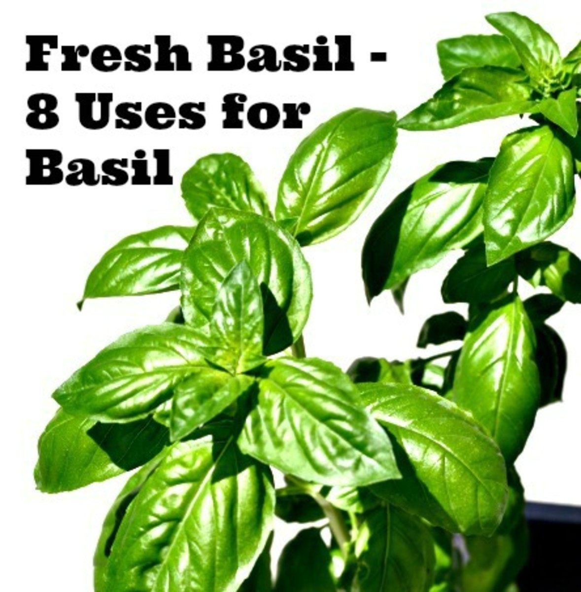 Fresh Basil - 8 Uses for Basil-TodaysMama.com