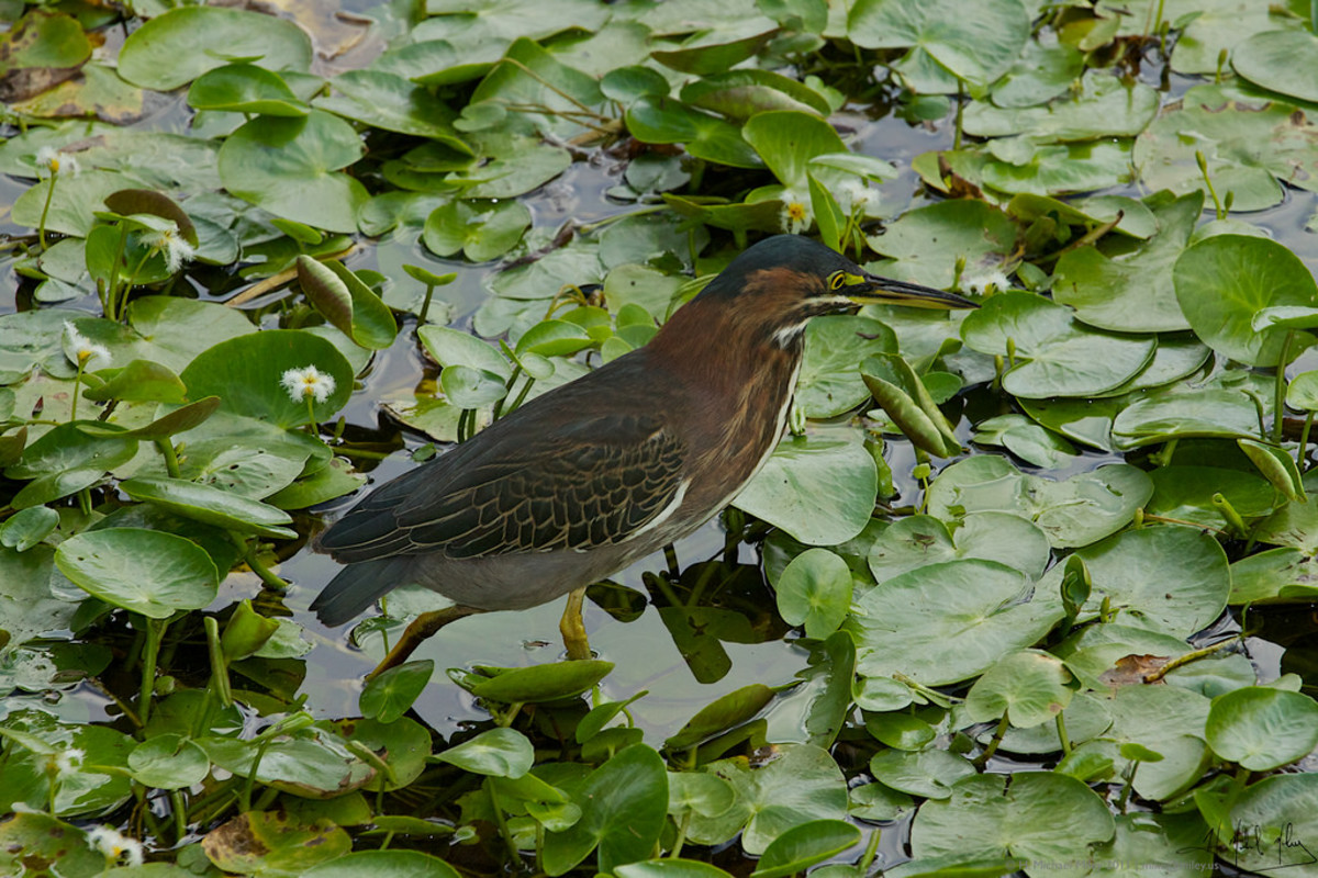 Green Heron at the Queen Elizabeth II Botanic Park (Flickr: H. Michael Miley)