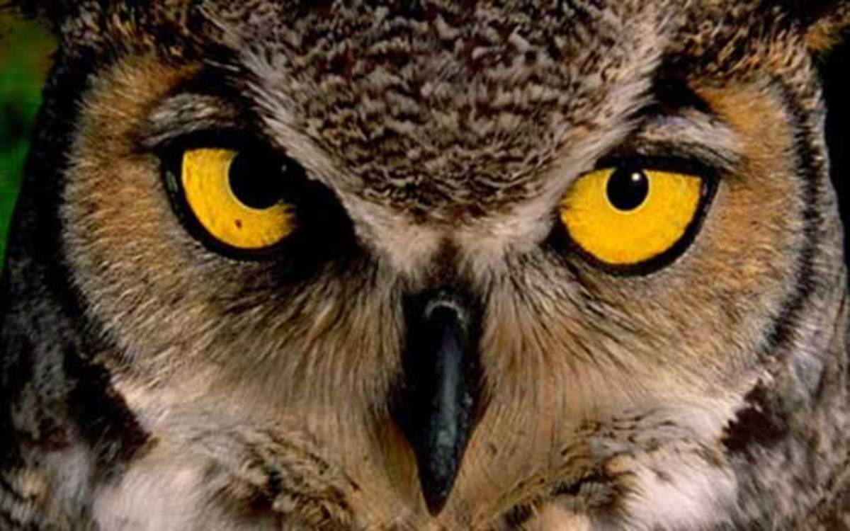 great-horned-owl-557x348