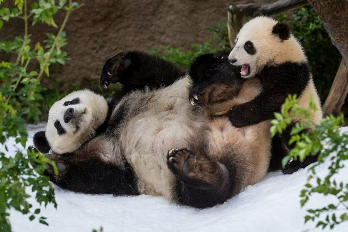 Pandas at San Diego Zoo (Courtesy San Diego Zoo)