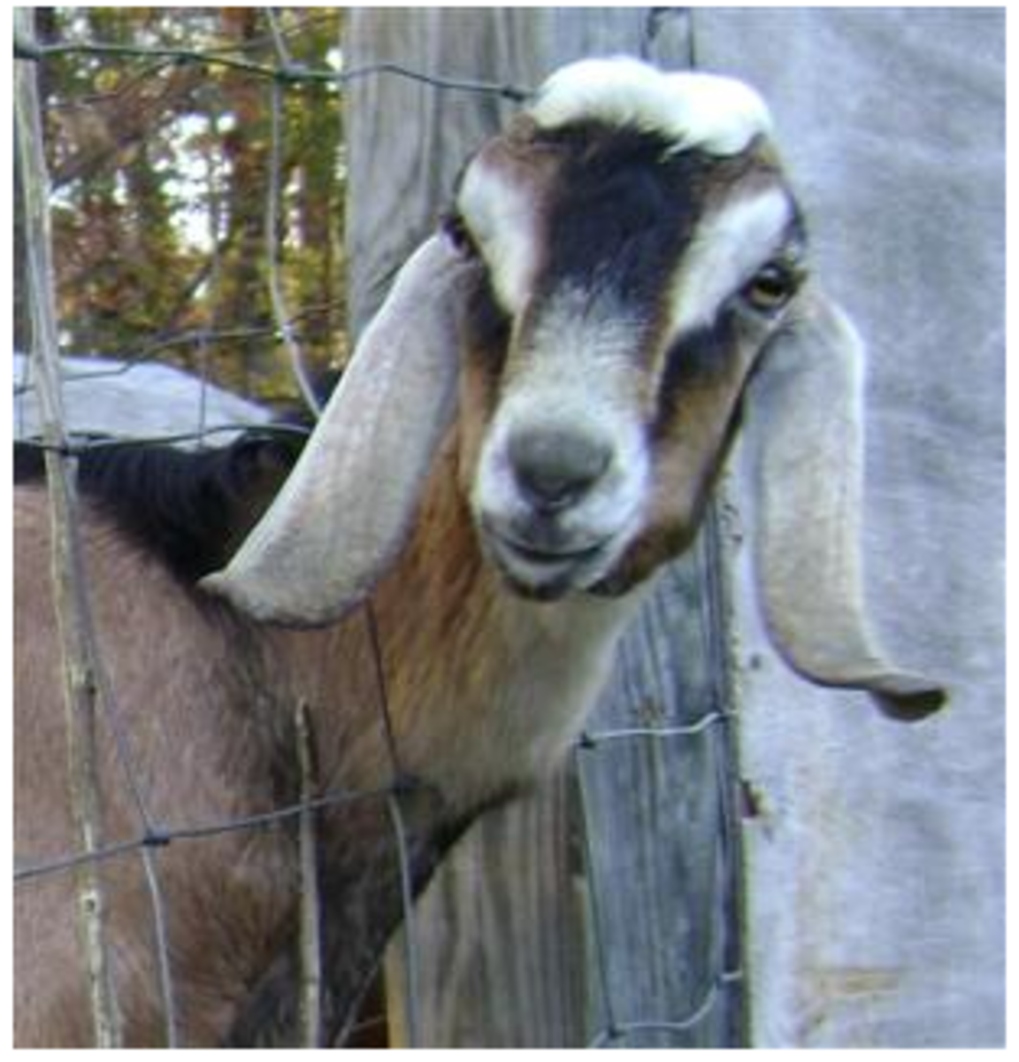 goat milk alternative
