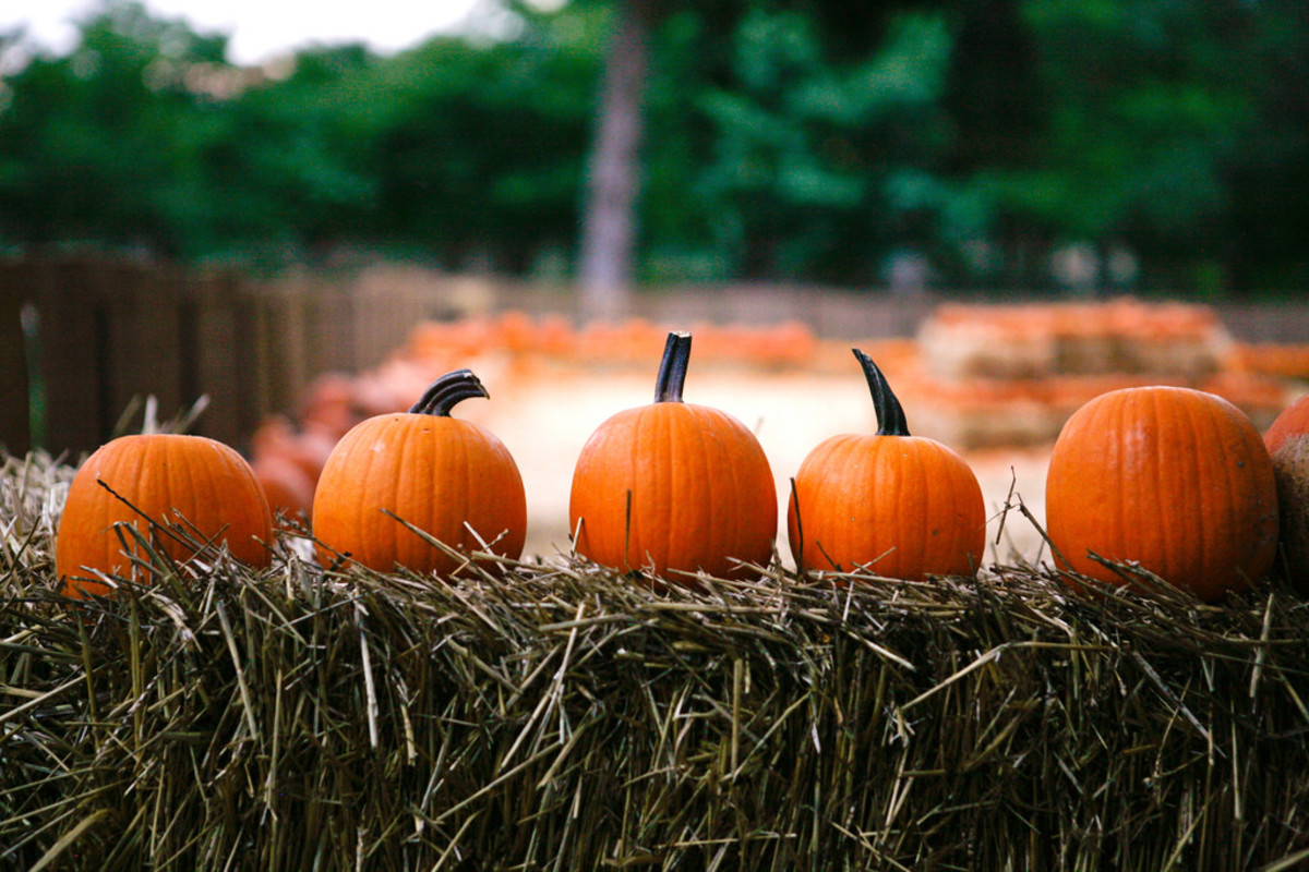 Tom Thumb Pumpkin Patch at the Dallas Arboretum. (Courtesy Dallas Arboretum)