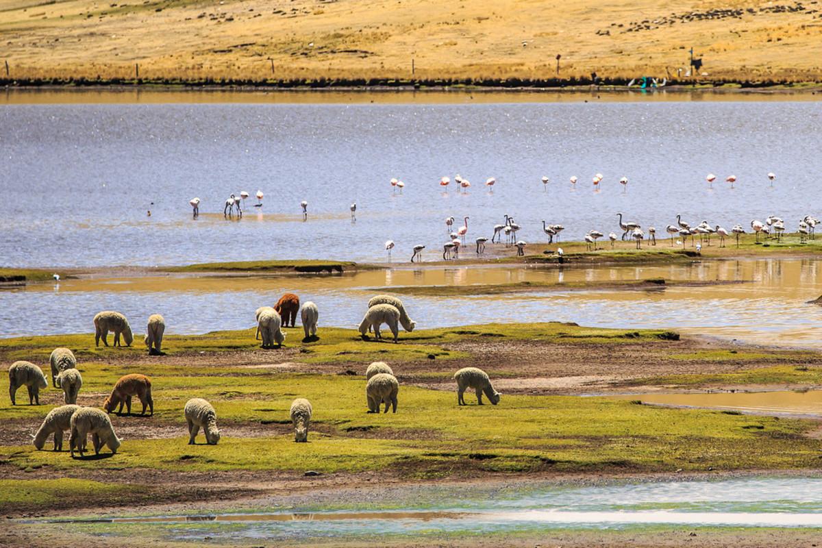 Alpacas in Peru (Flickr: Murray Foubister)