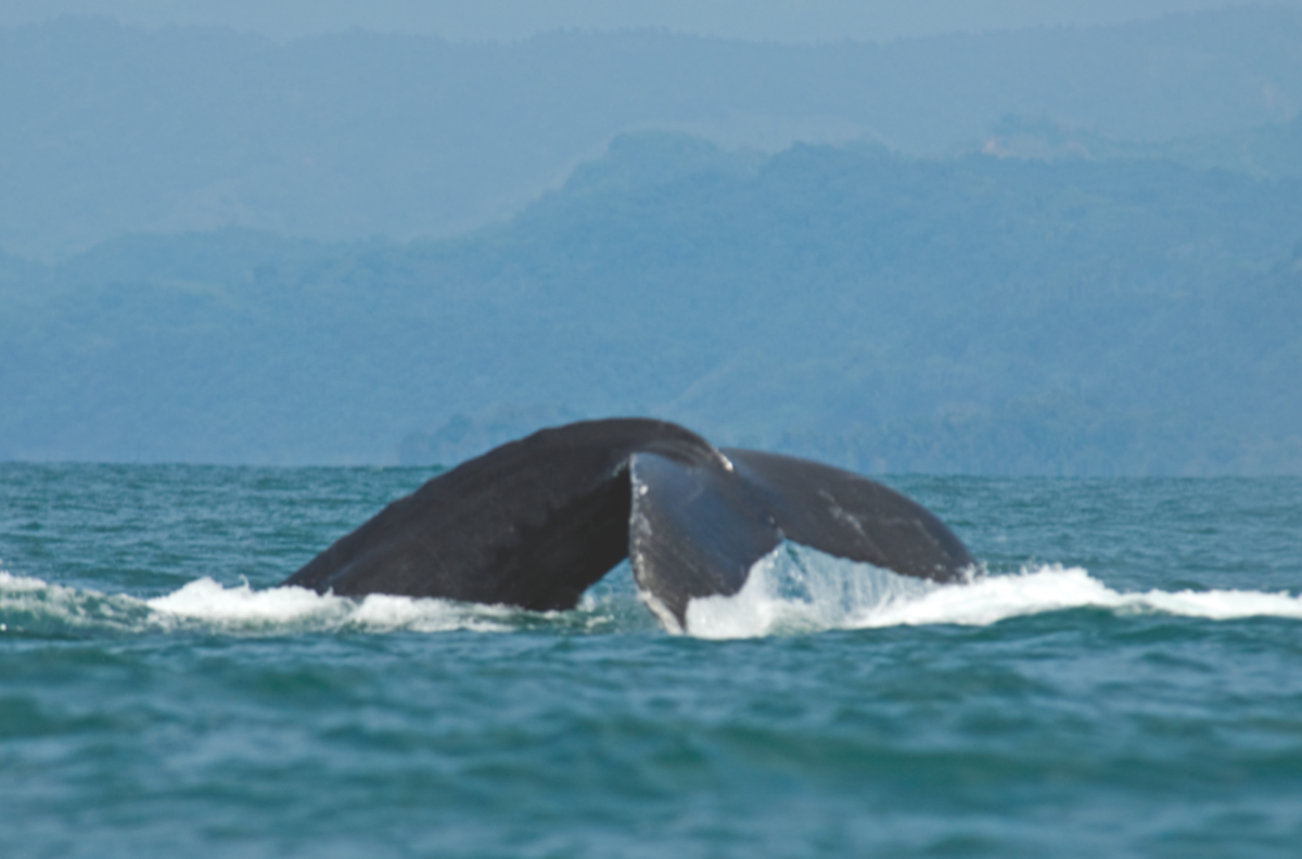 Humpback whale in Costa Rica (Courtesy Visit Costa Rica)