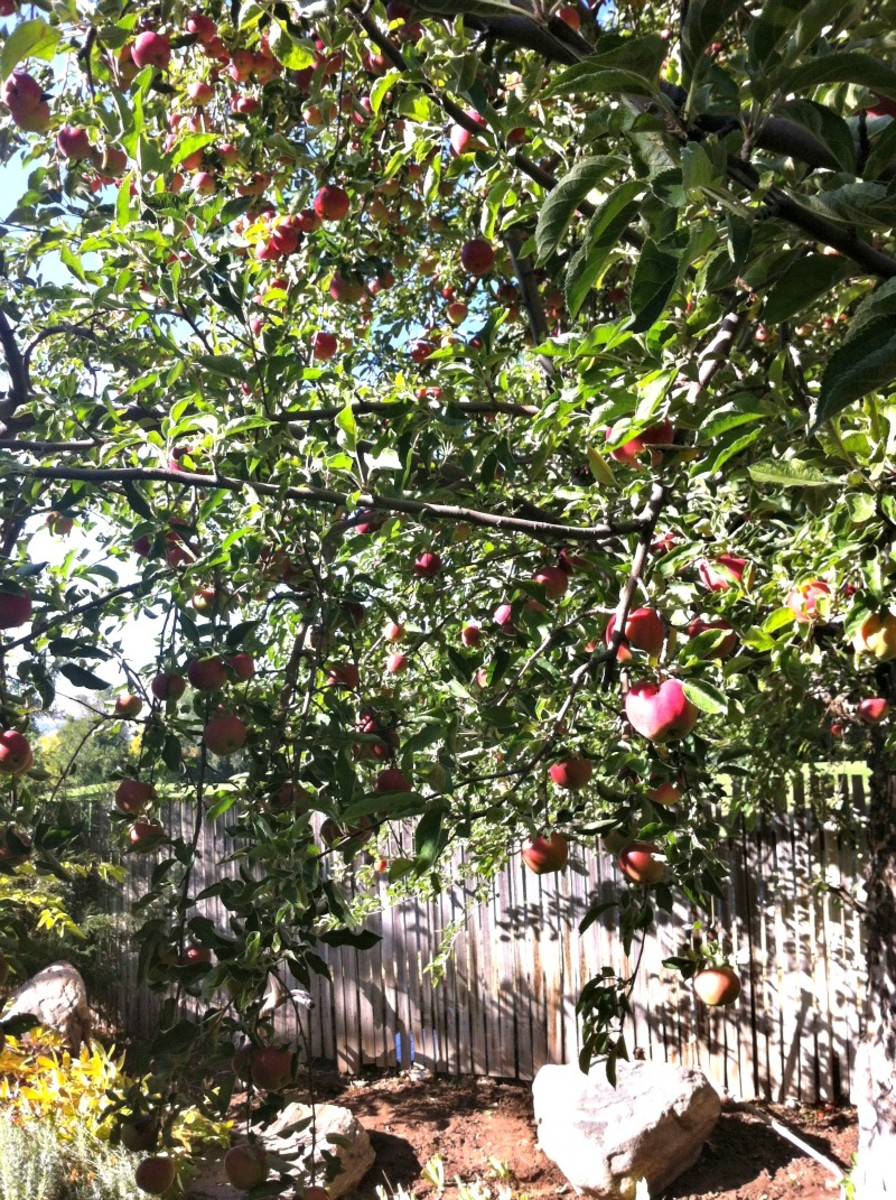 Edie's Apple Tree