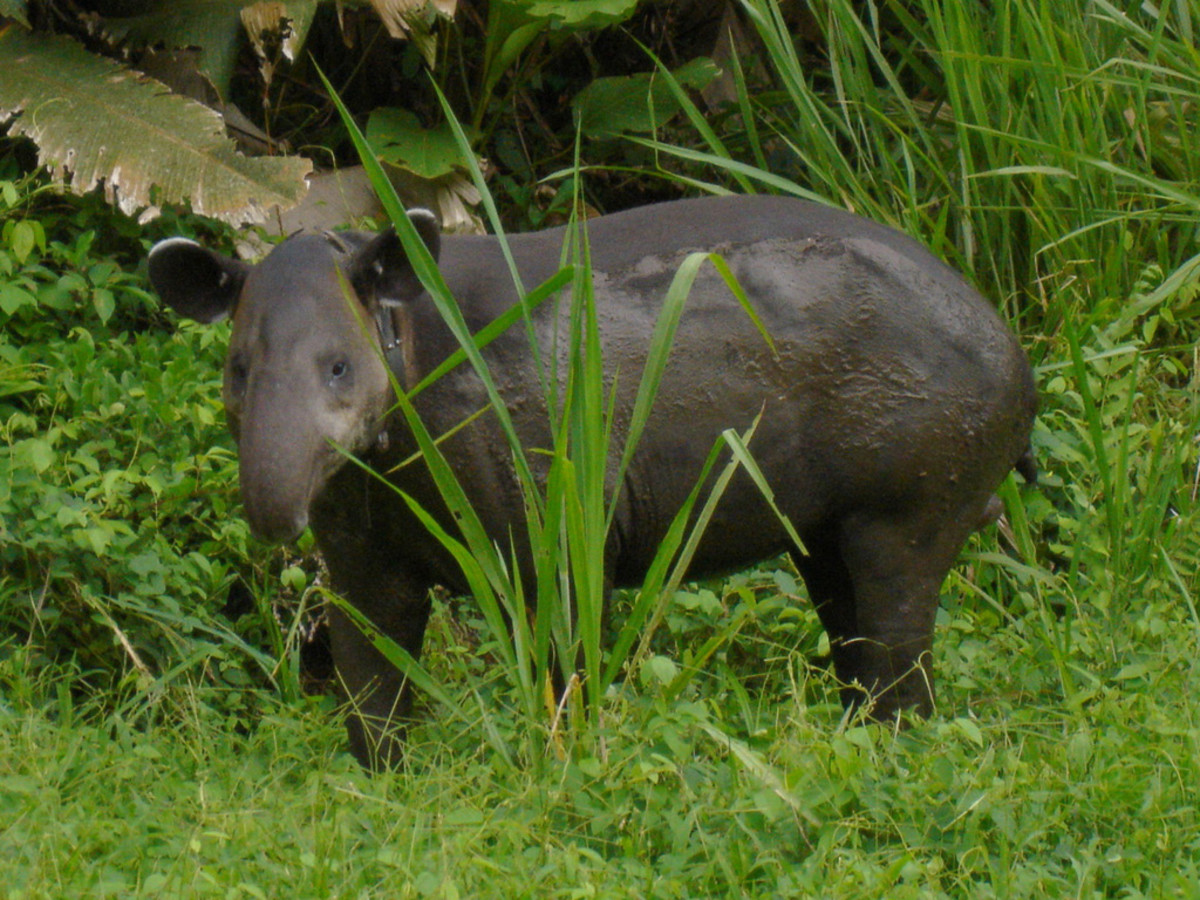 Baird's tapir in Corcovado National Park in Costa Rica (Flickr: Miguel Vieira)