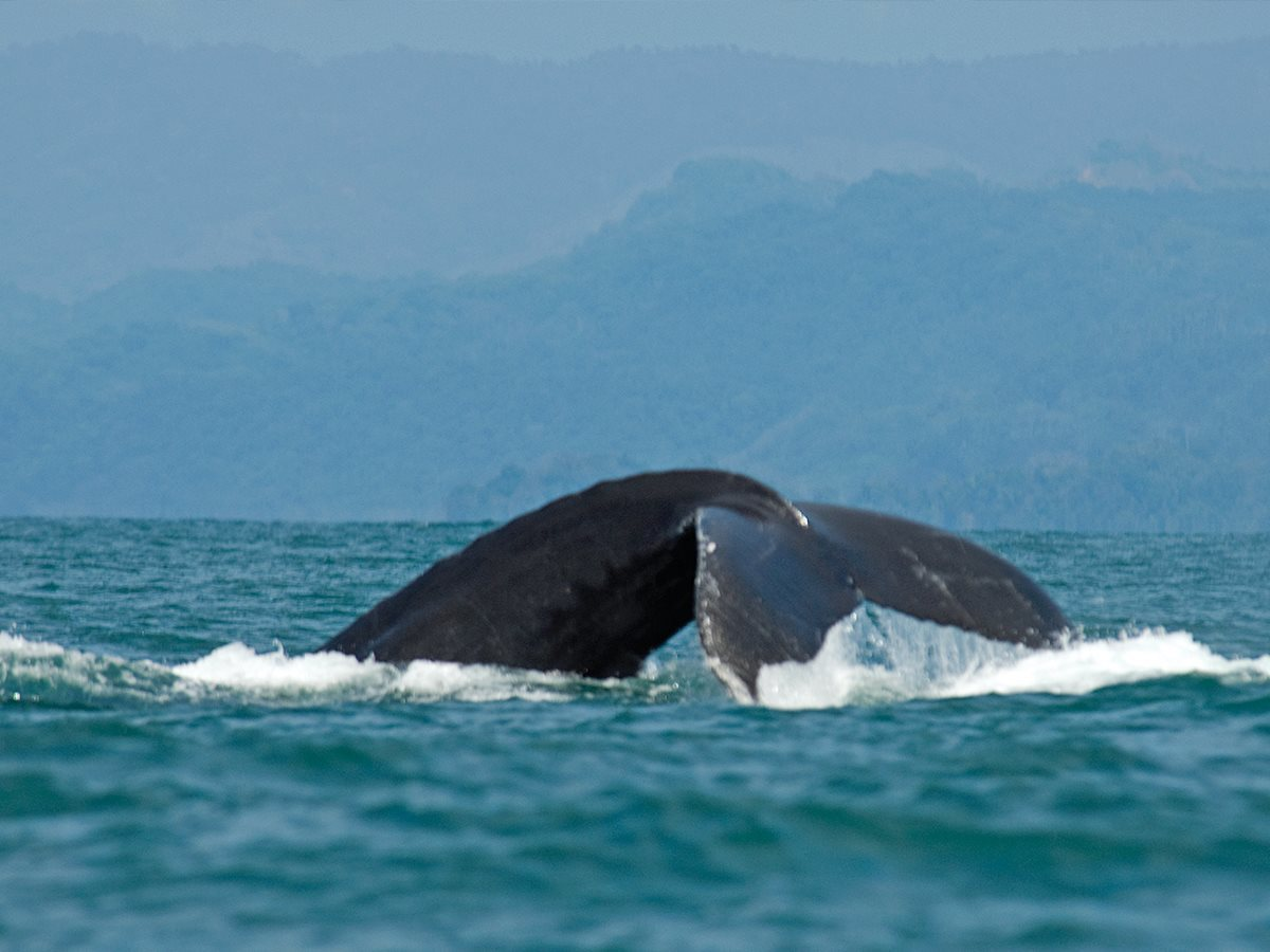 Costa Rica is a prime destination for whale watching. (Courtesy Visit Costa Rica)