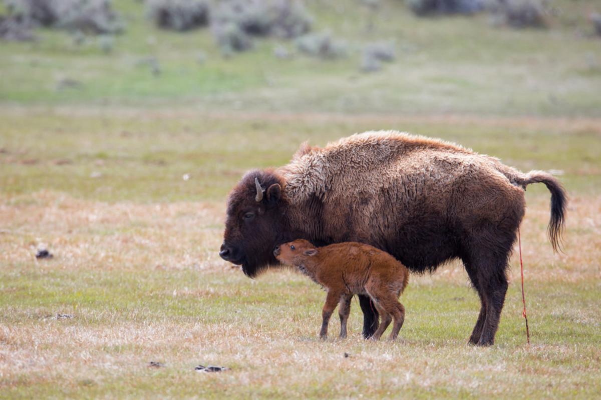 5_bison
